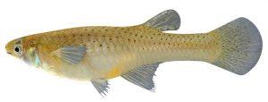 mosquito fish Gambusia